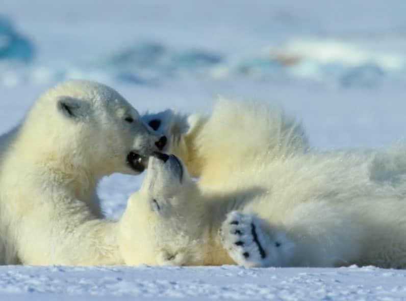 ourson polaire à sauver